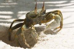 Ghost Crab (Ocypode quadrata) Stock Images