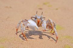 Ghost Crab On A Beach Royalty Free Stock Photos