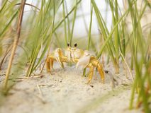 Ghost Crab On Beach. Royalty Free Stock Photo