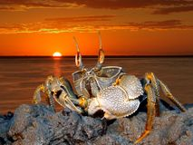 Ghost Crab On Rocks Stock Photos