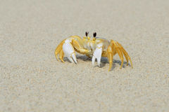 Ghost Crab On The Beach Stock Image