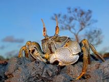 Ghost crab on rocks. Ghost crab (Ocypode spp.) on coastal rocks, Mozambique, southern Africa Royalty Free Stock Images