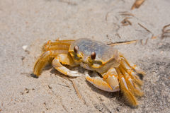 Ghost Crab On The Sand Royalty Free Stock Photos