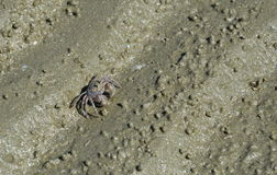 Ghost crab on the sand Stock Image