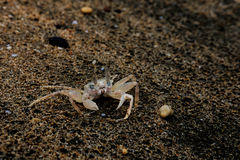 Ghost crab in the sand Stock Image