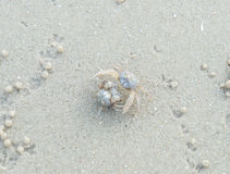 Ghost crab Stock Photography