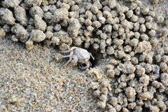 Ghost crab, Sand bubbler crab, in hole on beach sand. Royalty Free Stock Photos