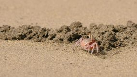 Ghost crab in the sand stock video