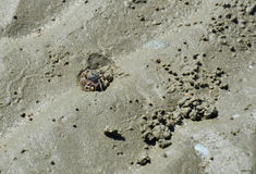 Ghost crab on the sand Stock Images