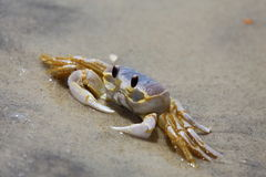 Ghost Crab. A ghost crab, or sand crab, Ocypode quadrata, sitting on the beach Royalty Free Stock Photos