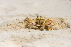 Ghost Crab Standing Beside Hole Stock Photography