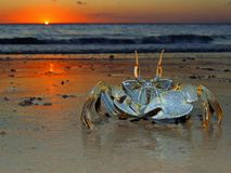 Ghost crab at sunset. Ghost crab (Ocypode sp.) on the beach at sunset, Mozambique, southern Africa Stock Images