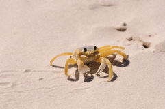 Ghost crab Royalty Free Stock Images