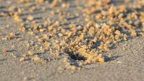 Ghost crabs digging holes.  HD Royalty Free Stock Image