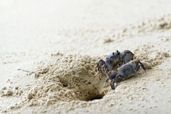 Ghost crabs on white sand beach Stock Image