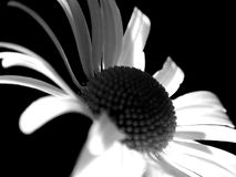 Ghost Daisey Flower. Black and white soft focus daisy flower on black background Royalty Free Stock Photos