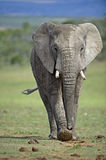 Ghost Elephant Stock Images