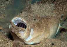 Ghost fish. Small fish hiding in the sand Royalty Free Stock Photography