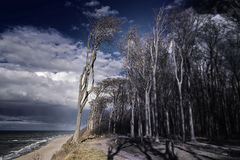Ghost forest on the Baltic Sea Stock Image