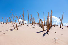 Ghost Forest in Sleeping Bear Dunes Stock Photography