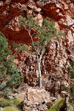 Ghost Gum (Corymbia aparrerinja). Image of Ghost Gum tree with red quartzite rocks on background royalty free stock images