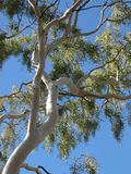 Ghost Gum Tree. Ghost gum reaching for the sky, Alice Springs, Australia Royalty Free Stock Photos