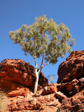 Ghost Gum Tree. Ghost gum reaching for the sky, Lings Canyon, Australia Royalty Free Stock Photo