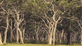 Ghost gum trees Stock Photo