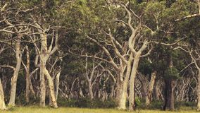 Ghost gum trees royalty free stock image