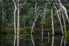 Ghost gums reflecting in the Margaret River. Weir Stock Photo