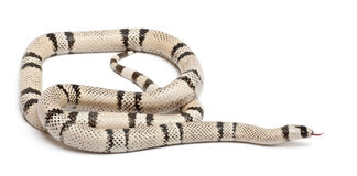 Ghost Honduran milk snake, Lampropeltis Royalty Free Stock Photos