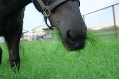 Ghost Horse. Giant Freisian Horse grazing in cemetary royalty free stock photography