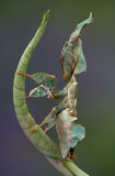 Ghost mantis on leaf. A female ghost mantis is sitting on a rolled leaf Royalty Free Stock Photography