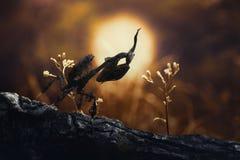Ghost mantis, macro art, mantis. Ghost mantis on sunset macro art Stock Image