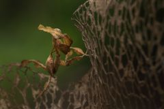 Ghost mantis. Small species of mantis from Africa remarkable for its leaf-like body stock photo
