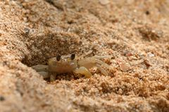 Ghost marche en crabe sur la plage de Koggala dans Sri Lanka Photo stock