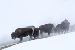 Ghost in the mist. Buffalo in the misty fog near geyser in yellowstone national park Royalty Free Stock Images