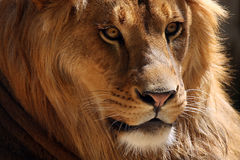 Ghost In The Night. Closeup of a beautiful African Lion showing incredible detail Royalty Free Stock Photography