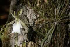 Ghost Orchid. A freshly opened Ghost Orchid in Big Cypress National Preserve Stock Photos