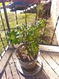 Ghost pepper plant 2 years old. Ghost pepper plant years old stock photo