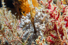 Ghost pipe fish Royalty Free Stock Photos