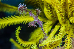 Ghost pipefish Royalty Free Stock Image