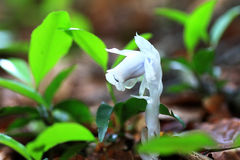 Ghost plant or Indian pipe Royalty Free Stock Image
