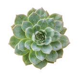 Ghost plant succulent isolated.Top view. Royalty Free Stock Photography