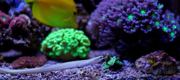 Ghost ribbon eel Stock Images
