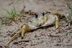 Ghost (Sand) Crab Royalty Free Stock Photography