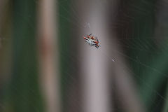 Ghost Spider. A nice close-up of a Ghost Spider on spiderweb Royalty Free Stock Photos