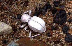 Ghost Toktokkie. Toktokkie beetle carcase bleached white in the sun Royalty Free Stock Photos