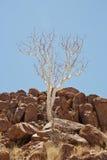 Ghost tree. Grows between rocks in Twyfelfontein Namibia Stock Photos