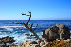 The ghost tree. At 17-mile drive, Pebble beach California Stock Image